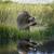 rakun · resim · doğal · çevre · orman - stok fotoğraf © saddako2