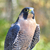 peregrine falcon stock photo © saddako2