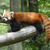 piros · panda · állatkert · kíváncsi · kő · kínai - stock fotó © saddako2