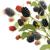 friss · szeder · tál · gyümölcs · édes · szeder - stock fotó © saddako2