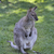 小 · カンガルー · 森林 · 黄色 · ママ · 毛皮 - ストックフォト © saddako2