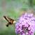 hummingbird moth stock photo © saddako2