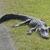 amerikai · aligátor · pihen · fű · fa · természet - stock fotó © saddako2