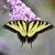 oriental · tigre · belo · borboleta · flor · preto - foto stock © saddako2