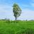 magányos · fa · zöld · kék · ég · fehér · felhők - stock fotó © saicle