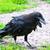 raven stock photo © sailorr