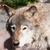 серый · волка · портрет · лет · цвета · власти - Сток-фото © sailorr