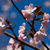 cherry blossom stock photo © sailorr