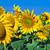 sunflowers stock photo © sailorr