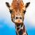 giraffe stock photo © sailorr