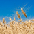 золото · пшеницы · Blue · Sky · солнце · небе · трава - Сток-фото © sailorr