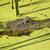 alligator lurking in an algae filled lake profile stock photo © saje