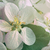 closeup of apple blossom flowers with filtered light stock photo © sandralise