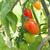 rouge · prune · tomates · vigne · croissant - photo stock © sarahdoow