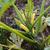 jaune · été · squash · croissant · Bush · usine - photo stock © sarahdoow