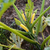 yellow summer squash plant stock photo © sarahdoow