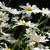 deniz · papatya · çiçekler · çoklu · papatyalar · bir - stok fotoğraf © sarahdoow
