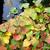camaleão · família · velho · mundo · espécies - foto stock © sarahdoow