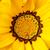 closeup of bright yellow gazania flower stock photo © sarahdoow