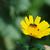 közelkép · méh · citromsárga · kukorica · százszorszép · fényes - stock fotó © sarahdoow