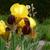 желтый · Iris · выстрел · обои · искусства · цветок - Сток-фото © sarahdoow