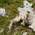 lã · pormenor · ovelha · grama · verde · fazenda · agricultura - foto stock © sarahdoow