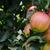 csoport · érett · almák · fa · kész · aratás - stock fotó © sarahdoow