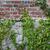 ivy · grezzo · muro · di · mattoni · verde · climbing · intemperie - foto d'archivio © sarahdoow