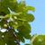 hops growing on a leafy vine stock photo © sarahdoow