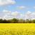 Field of bright yellow oilseed rape stock photo © sarahdoow