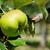 főzés · alma · ág · angol · gyümölcsös · fa - stock fotó © sarahdoow