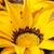 gazania flower with bright yellow petals stock photo © sarahdoow