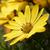 Yellow African daisy flower stock photo © sarahdoow