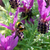 bumble bee pollinates butterfly lavender flowers stock photo © sarahdoow