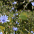 delicate blue chicory flowers stock photo © sarahdoow