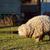 ovelha · em · pé · molhado · campo · fazenda - foto stock © sarahdoow