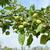 almafa · ág · gyümölcs · kicsi · zöld · almák - stock fotó © sarahdoow