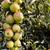tele · zöld · almák · kész · fa · gyümölcs - stock fotó © sarahdoow