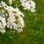 fragante · blanco · flores · hierba · verde · arbusto · mexicano - foto stock © sarahdoow