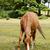 Chestnut pony grazes in the New Forest stock photo © sarahdoow