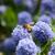 abelha · completo · macro · mel · de · abelha · azul · flor - foto stock © sarahdoow