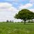 Lone oak tree in a field stock photo © sarahdoow