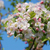 Closeup of a cluster of crab apple blossom stock photo © sarahdoow