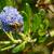 bal · arısı · keşfetmek · mavi · çiçek · makro - stok fotoğraf © sarahdoow