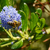 Honey bee exploring a blue ceanothus flower  stock photo © sarahdoow