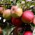 citromsárga · piros · almák · ág · gyümölcsös · fa - stock fotó © sarahdoow