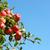 bos · Rood · appels · appelboom · boom - stockfoto © sarahdoow