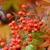 close up of red rowan berries stock photo © sarahdoow