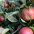 rózsás · piros · almák · növekvő · levelek · sötét - stock fotó © sarahdoow