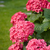 pink flower stock photo © sarkao